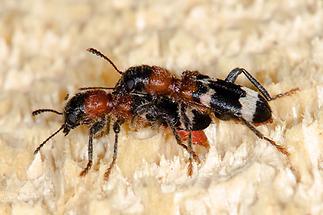 Thanasius formicarius - Ameisenbuntkäfer, Käfer Paar (2)