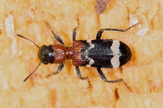 Thanasimus formicarius - Ameisenbuntkäfer, Käfer auf Holz (1)