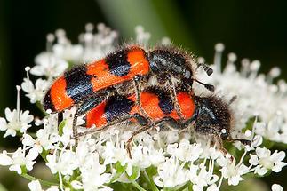 Trichodes apiarius - Bienenwolf, Immenkäfer, Käfer Paar