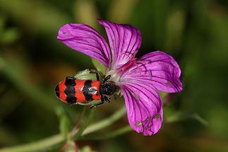 Trichodes apiarius - Bienenwolf Immenkäfer, Käfer auf Blüte