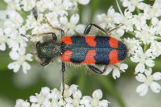 Trichodes apiarius - Bienenwolf, Immenkäfer, Käfer auf Blüten (1)