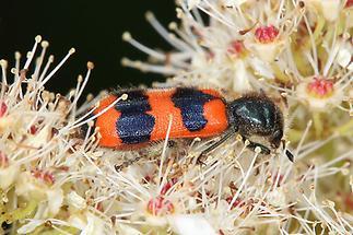Trichodes apiarius - Bienenwolf, Immenkäfer, Käfer auf Blüten (2)