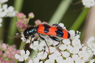 Trichodes apiarius - Bienenwolf, Immenkäfer, Käfer auf Blüten (3)