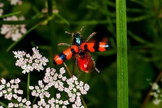 Trichodes apiarius - Bienenwolf, Immenkäfer, Käfer im Flug