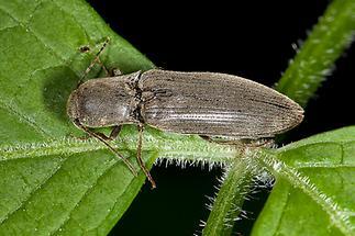 Agriotes pilosellus - Samt-Schnellkäfer, Käfer auf Blatt