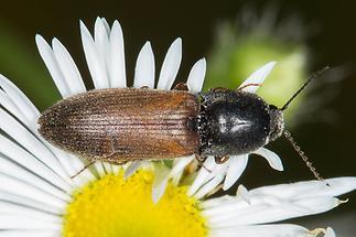 Agriotes ustulatus - Rauchiger Schnellkäfer, Käfer auf Gänseblümchen