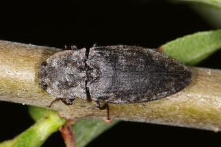 Agrypnus murinus - Mausgrauer Sandschnellkäfer, Käfer auf Ast