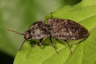 Agrypnus murinus - Mausgrauer Sandschnellkäfer, Käfer auf Blatt (1)