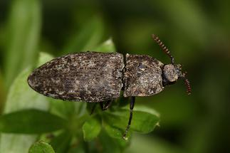 Agrypnus murinus - Mausgrauer Sandschnellkäfer, Käfer auf Blatt (2)
