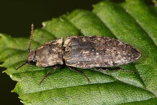 Agrypnus murinus - Mausgrauer Sandschnellkäfer, Käfer auf Blatt (3)