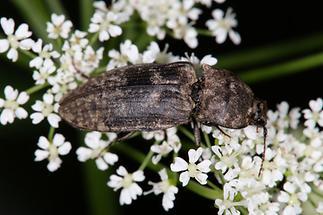 Agrypnus murinus - Mausgrauer Sandschnellkäfer Adriach, Käfer auf Blüten