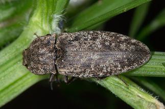 Agrypnus murinus - Mausgrauer Sandschnellkäfer, Käfer auf Stengel