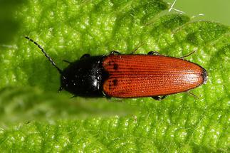 Ampedus sp. - kein dt. Name bekannt, Käfer auf Blatt (2)