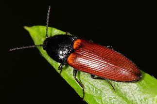Ampedus sp. - kein dt. Name bekannt, Käfer auf Blatt (3)