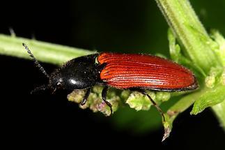 Ampedus sp. - kein dt. Name bekannt, Käfer auf Blatt (4)