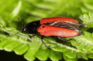 Ampedus sp. - kein dt. Name bekannt, Käfer auf Blatt (5)