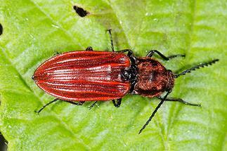 Anostirus purpureus - Purpurroter Schnellkäfer, Käfer auf Blatt (1)