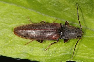 Athous austriacus - kein dt. Name bekannt, Käfer auf Blatt