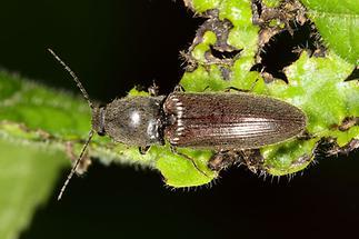 Athous haemorrhoidalis - Rotbauchiger Schnellkäfer, Käfer auf Blatt (1)