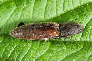 Athous haemorrhoidalis - Rotbauchiger Schnellkäfer, Käfer auf Blatt (2)