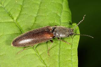 Athous haemorrhoidalis - Rotbauchiger Schnellkäfer, Käfer auf Blatt (3)