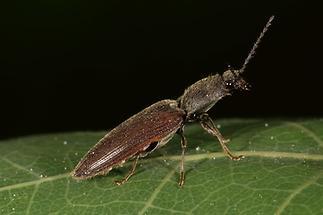 Athous haemorrhoidalis - Rotbauchiger Schnellkäfer, Käfer auf Blatt (4)