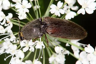 Athous haemorrhoidalis - Rotbauchiger Schnellkäfer, Käfer auf Blütenstand