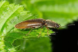 Athous subfuscus - Brauner Schnellkäfer, Käfer auf Blatt