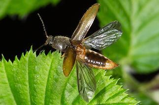 Athous cf. subfuscus - Brauner Schnellkäfer, Käfer vor Abflug