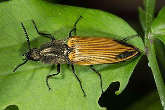 Ctenicera virens - Kammhorn-Schnellkäfer, Käfer auf Blatt