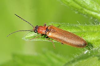 Denticollis linearis - Zahnhalsiger Schnellkäfer, Käfer auf Blatt (1)