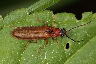 Denticollis linearis - Zahnhalsiger Schnellkäfer, Käfer auf Blatt (2)