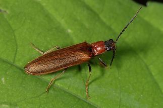 Denticollis linearis - Zahnhalsiger Schnellkäfer, Käfer auf Blatt (4)