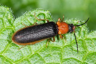 Denticollis linearis - Zahnhalsiger Schnellkäfer, Käfer schwarze Variante
