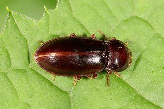 Dima elateroides - kein dt. Name bekannt, Käfer auf Blatt (1)