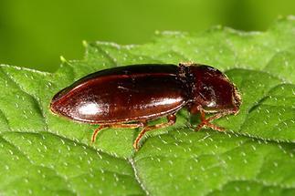 Dima elateroides - kein dt. Name bekannt, Käfer auf Blatt (2)