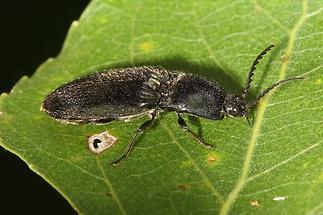 Hemicrepidius niger cf. - Schwarzer Rauhaarschnellkäfer (2)