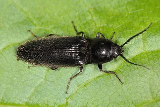 Hemicrepidius niger - Schwarzer Rauhaarschnellkäfer, Käfer auf Blatt (1)