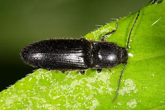 Hemicrepidus niger oder hirtus - Schwarzer Rauhaarschnellkäfer, Käfer auf Blatt (2)