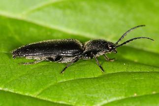 Hemicrepidus niger - Schwarzer Rauhaarschnellkäfer, Käfer auf Blatt (3)