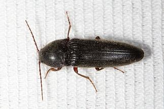 Melanotus cf. crassicornis - kein dt. Name bekannt, Käfer beim Lichtfang