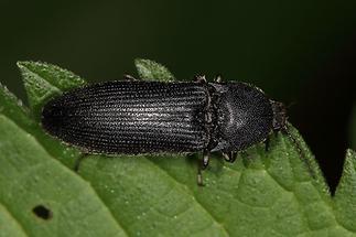 Melanotus punctolineatus - kein dt. Name bekannt, Käfer auf Blatt (1)