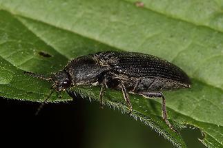 Melanotus punctolineatus - kein dt. Name bekannt, Käfer auf Blatt (2)