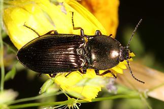 Selatosomus aeneus - Glanzschnellkäfer, Käfer auf gelber Blüte