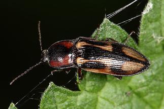 Selatosomus cruciatus - Kreuz-Schnellkäfer, Käfer auf Blatt