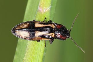 Selatosomus cruciatus - Kreuz-Schnellkäfer, Käfer auf Gras