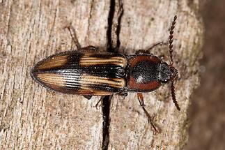 Selatosomus cruciatus - Kreuz-Schnellkäfer, Käfer auf Holz