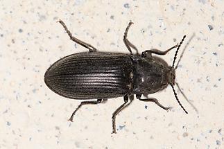 Selatosomus latus - kein dt. Name bekannt, Käfer auf Mauer