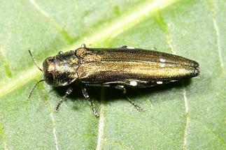 Agrilus biguttatus - Zweifleckiger Eichenprachtkäfer, Käfer auf Blatt