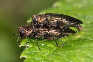 Agrilus sp. - kein dt. Name bekannt, Käfer Paar (1)